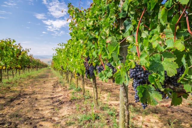 vigneto toscano con uva