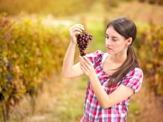 enologa osserva il grappolo d'uva